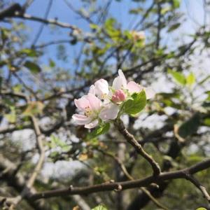 リンゴの花がまた咲く