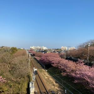 三浦半島のの河津桜を見て来ました。