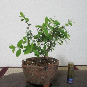 「雪柳(ユキヤナギ)」の花