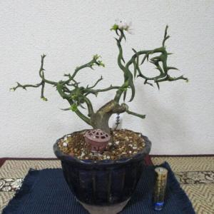 「雲竜枳殻(ウンリュウカラタチ)」の花