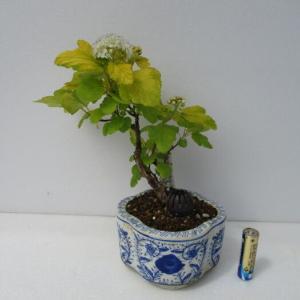 「黄金手毬下野(オウゴンテマリシモツケ)」の花
