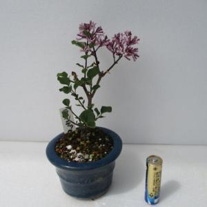 「姫ライラック」の花