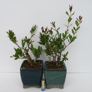 「花柘榴(ハナザクロ)」の芽摘みと剪定