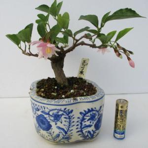 「赤花野茉莉(アカバナエゴノキ)」の花
