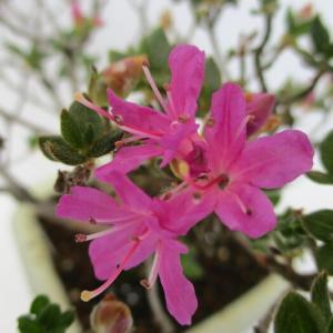「深山霧島(ミヤマキリシマ)」の花