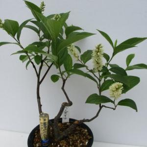 「小葉の髄菜(コバノズイナ)」の花