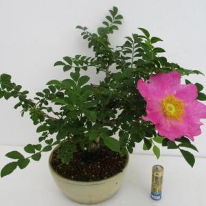 「箱根山椒薔薇(ハコネサンショウバラ)」の花