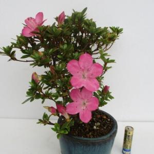 ミヤマキリシマ「筑峰(チクホウ)」の花