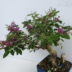 「木萩(キハギ)」の花