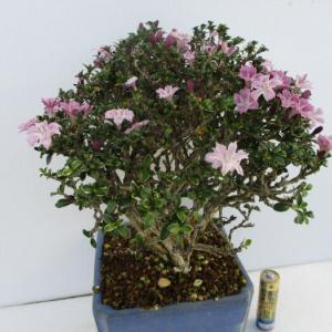 「香丁木(コウチョウボク)」の花