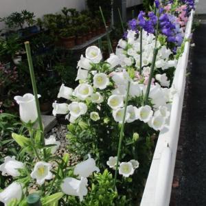 「カンパニュラ」今年は咲きました