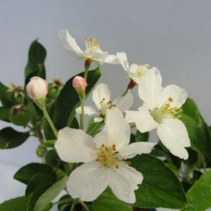 「姫リンゴ」の花と実