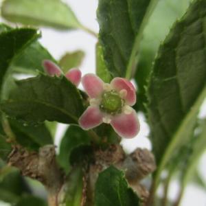 「梅擬(ウメモドキ)」の花