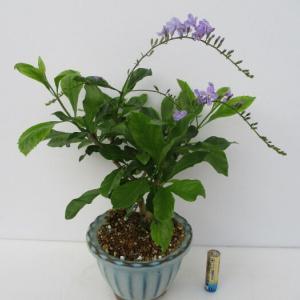 「デュランタ」の花