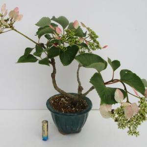 「赤花岩がらみ(アカバナイワガラミ)」の花
