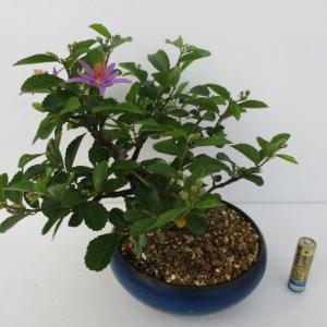 一日花「睡蓮木(スイレンボク)」の花