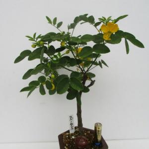 「小葉の旃那(コバノセンナ)」の花