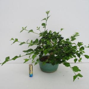 「匂い楓(ニオイカエデ)」の芽切り