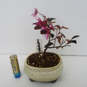 「紅花常盤万作(ベニバナトキワマンサク)」の花
