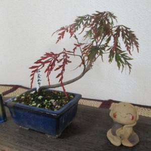 葉焼けした「紅枝垂れモミジ」が復活