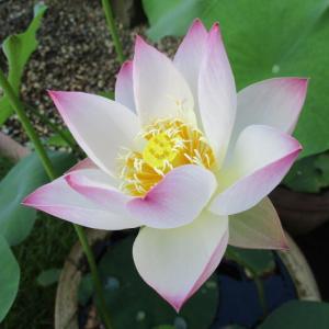 「姫蓮(ヒメハス)」の花