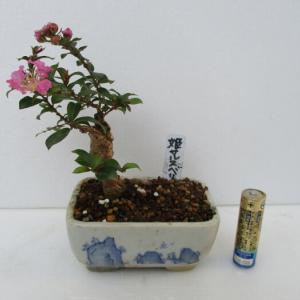 「姫百日紅(ヒメサルスベリ)」の花