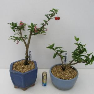 「台湾姫桜桃(タイワンヒメオウトウ)」の花と実