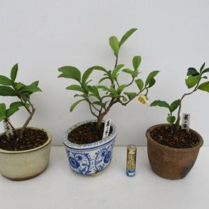 実生5年生の「お茶の木」の花