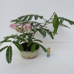「合歓の木(ネムノキ)」の実と花