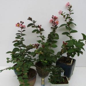 遅れて咲いた「百日紅(サルスベリ)」の花