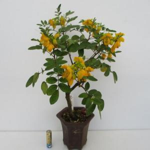 「小葉の旃那(コバノセンナ)」がまた咲きました