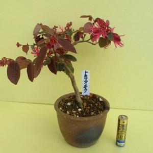 「紅花常磐万作(ベニバナトキワマンサク)」の花