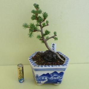 「落葉松(カラマツ)」の芽摘み
