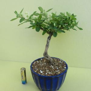 「瓢箪木(ヒョウタンボク)」の花