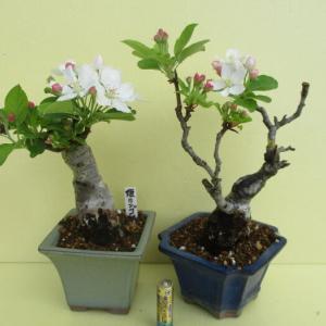 「姫林檎(ヒメリンゴ)」の花