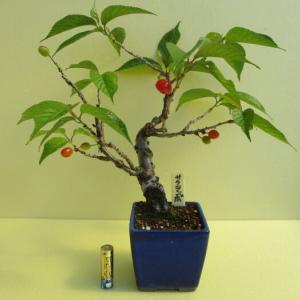 「桜桃(サクランボ)」の実