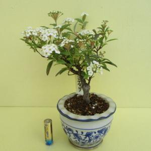 「小手毬(コデマリ)」の花