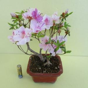 「躑躅(ツツジ)」の花