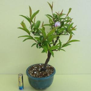 今年は一輪だけ、「庭桜(ニワザクラ)」の花