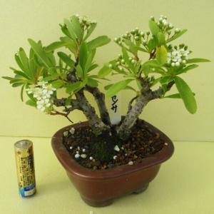 「ピラカンサ」の花