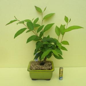 「姫沙羅(ヒメシャラ)」の芽摘み・葉刈り