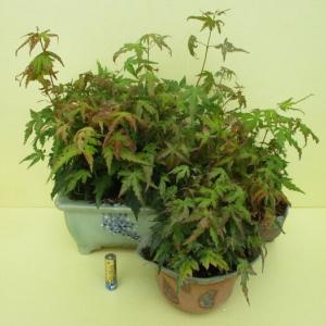 実生の「モミジ」の寄せ植えを手入れ