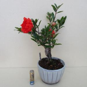 「花柘榴(ハナザクロ)」の花