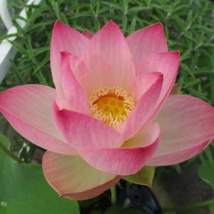 「姫蓮(ヒメハス)」の今年の一番花