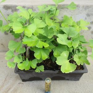 実生の「銀杏(イチョウ)」の芽摘み・葉刈り