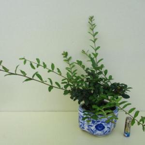 「水蝋の木(イボタノキ)」の手入れ
