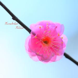 一輪の梅の花