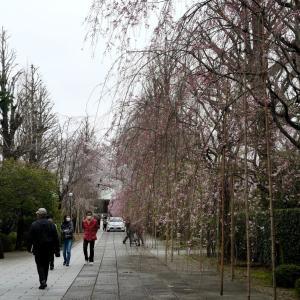駒込吉祥寺のしだれ桜