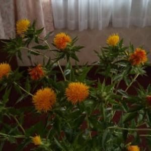 山形県の花。