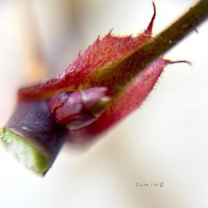 バラの剪定と植物観察♡葉っぱの色素と新芽の様子。